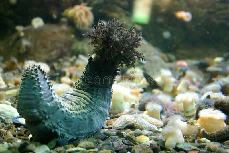 Sea cucumber stock image
