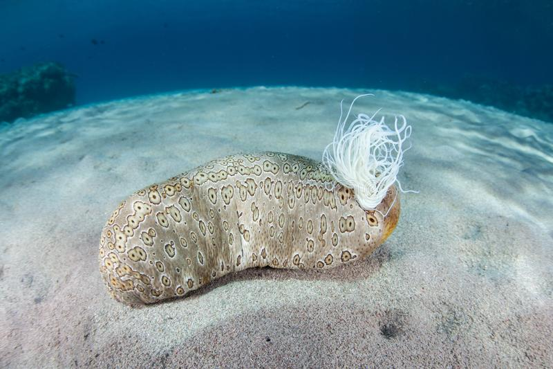 Sea Cucumber and Cuvierian Tubules royalty free stock photos