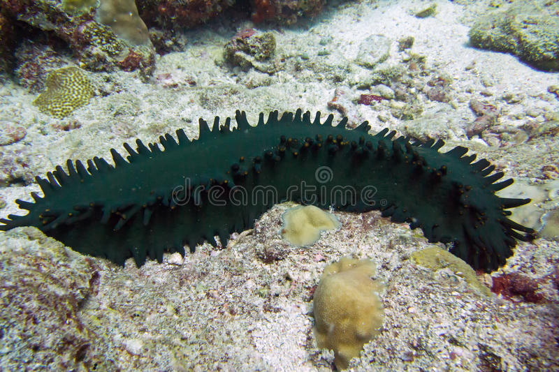 Download Sea cucumber with papillae stock image. Image of floor - 28980107