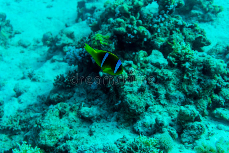 Sea deep or ocean underwater with coral reef as a background. Sea deep or ocean underwater with coral reef royalty free stock photography