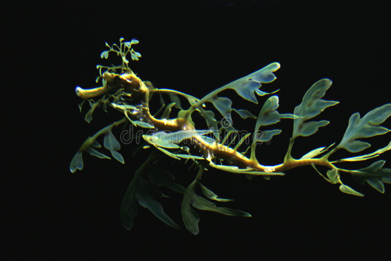 Download Sea dragon stock photo. Image of southern, marine, dragon - 2370328