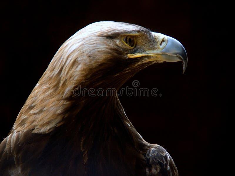 Sea-eagle. Side view on sea eagle stock photo