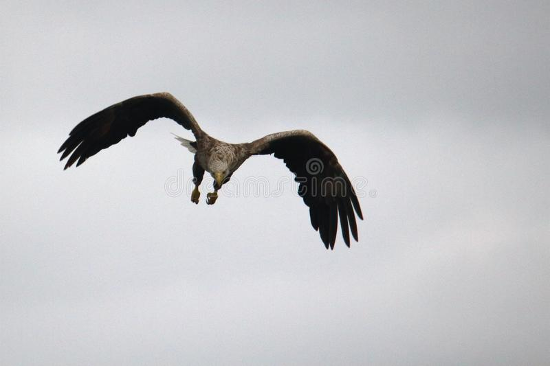 Sea Eagle searching some food. Over Lofoten islands, arctic archipelago situated in northern Norway stock images