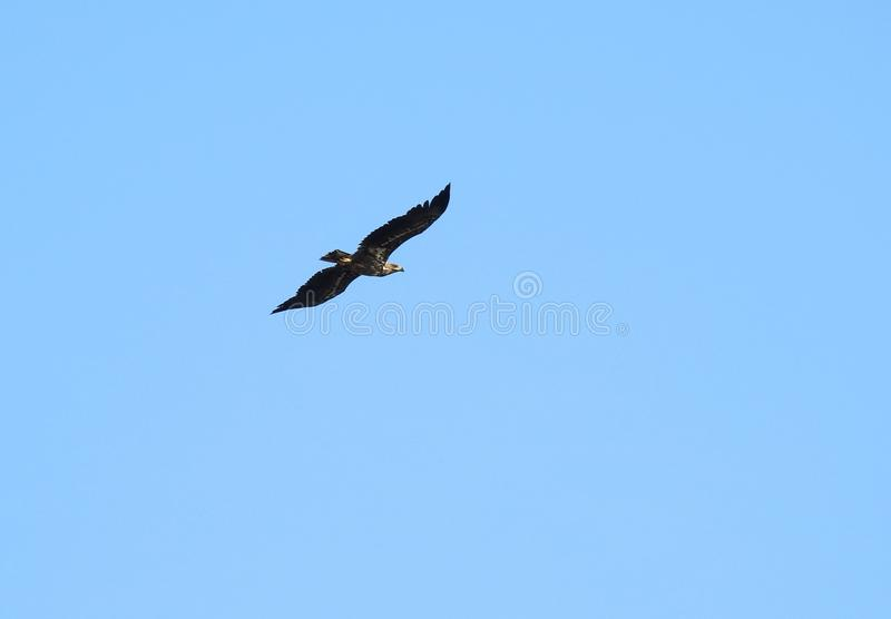 Sea eagle bird flying in blue sky, Lithuania royalty free stock photography