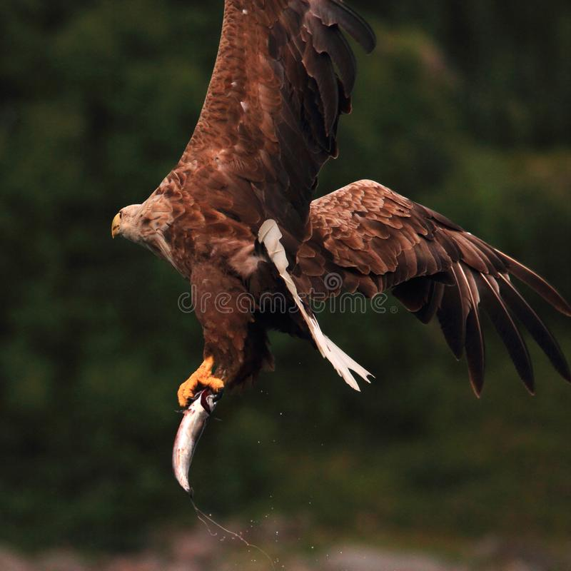 Turning with the prey. Sea eagle flying away after a good catch Lofoten islands, arctic archipelago situated in northern Norway royalty free stock image