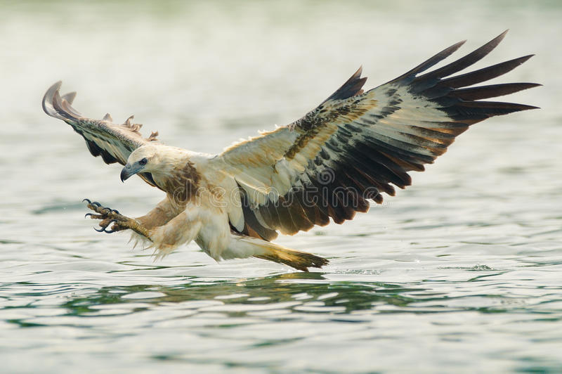 Sea eagle hunting. Sea eagle spread his wings ready to attack his prey