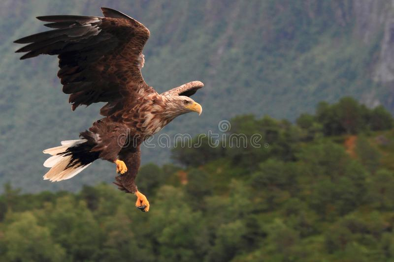 Sea eagle landing asimmetrically in a fjord of Lofoten. Sea eagle landing asimmetrically for catching a fish Lofoten islands , Norway, region of Norland , Arctic stock photos