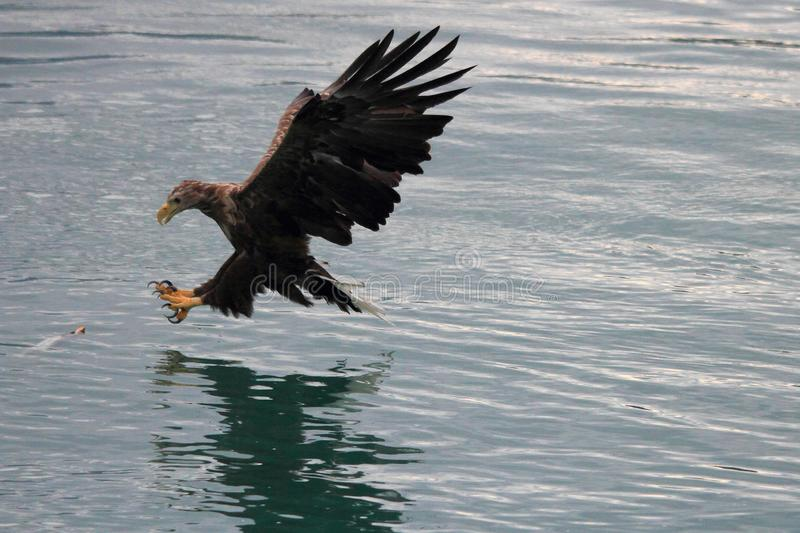 Lofoten`s eagle almost landing on a cod in turquoise waters. Sea eagle landing on a cod in Lofoten islands, arctic archipelago situated in northern Norway royalty free stock photo