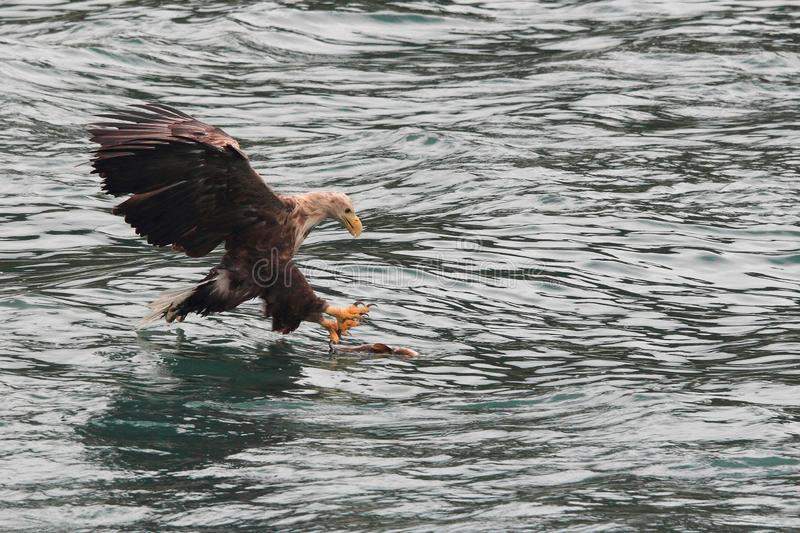 Lofoten`s eagle landing on a cod. Sea eagle landing on a cod in Lofoten islands, arctic archipelago situated in northern Norway stock image