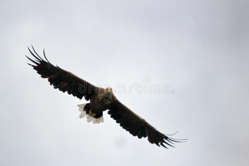 Sea eagle of Lofoten gliding high. Sea eagle gliding high in the sky looking for his prey, Lofoten islands, arctic, Norway royalty free stock photo