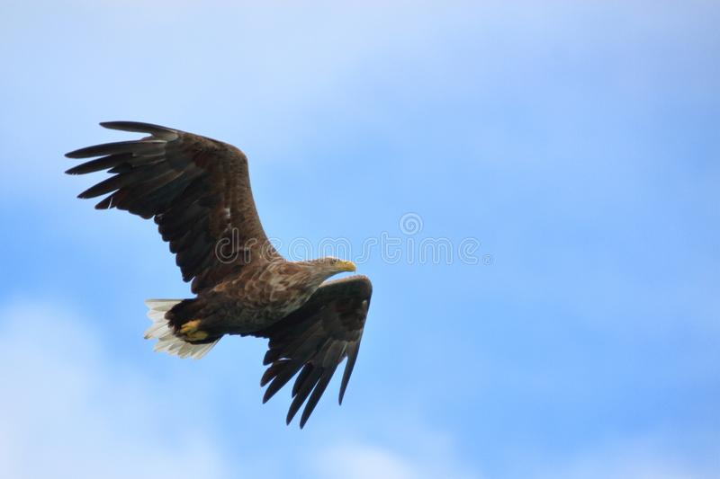 Sea eagle of Lofoten high in the blue sky. Sea eagle gliding high in the sky looking for his prey, Lofoten islands, arctic, Norway royalty free stock images