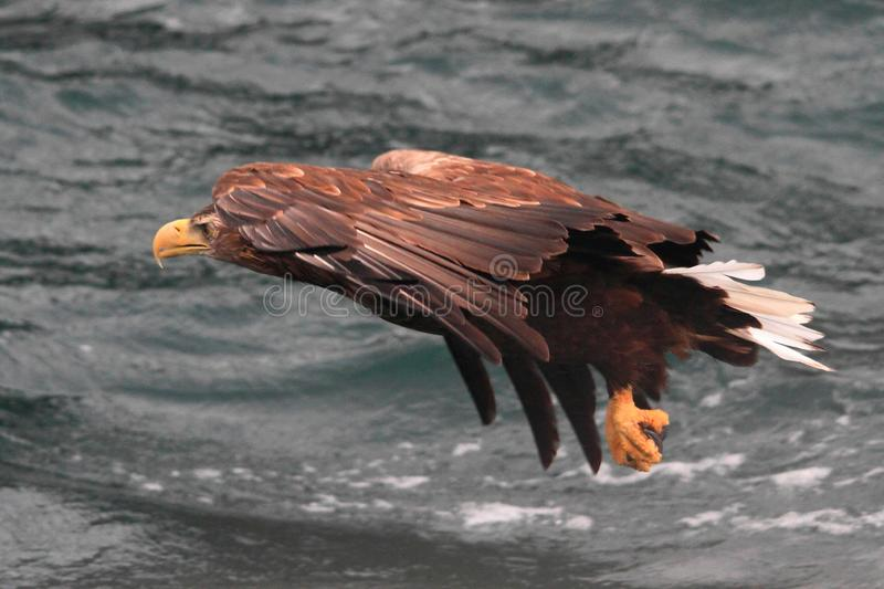 Sea eagle on reconnaissance flight a fjord of Lofoten. Sea eagle flying over a fjord for catching a fish Lofoten islands , Norway, region of Norland , Arctic stock photography