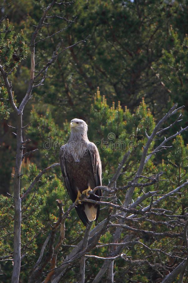 Lofoten`s eagle enlightened by the sun. Sea eagle resting on a pine branch in Lofoten islands, arctic archipelago situated in northern Norway stock image