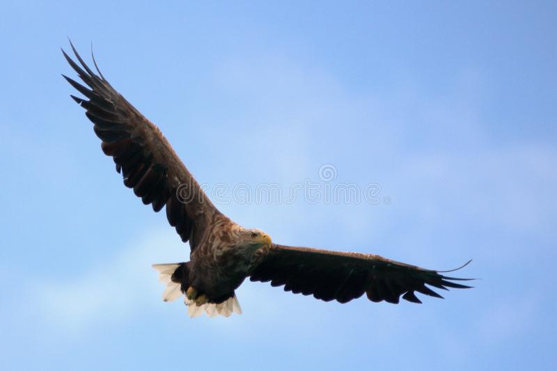 Searching food from Lofoten`s sky. Sea eagle searching from the sky for catching his prey, Lofoten islands, arctic, Norway royalty free stock images