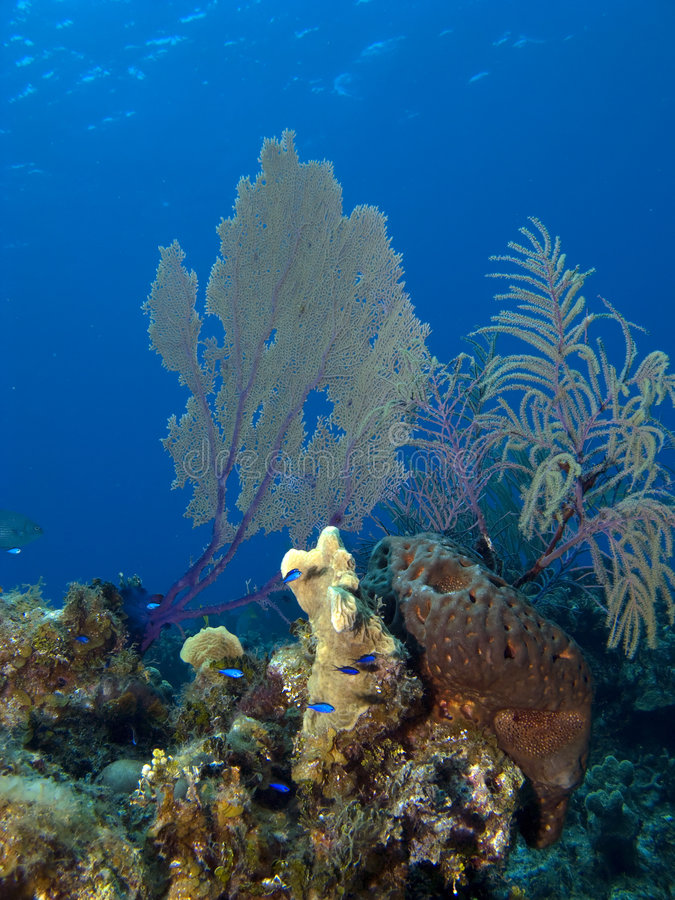 Sea Fan and Blue Fish. In the Cayman Islands royalty free stock photos