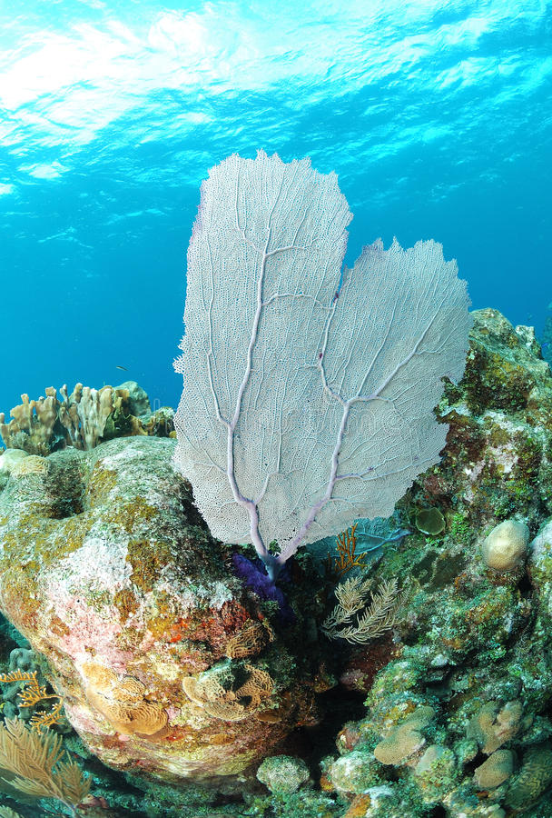 Download Sea fan on coral reef stock photo. Image of habitat, tropical - 22722480