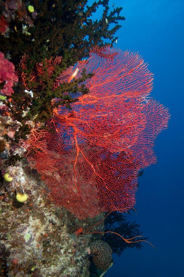 Sea Fan, Fiji stock image
