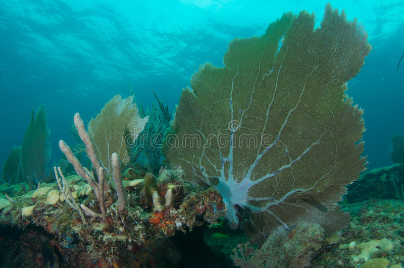 Sea Fans On A Coral Ledge. Stock Photography