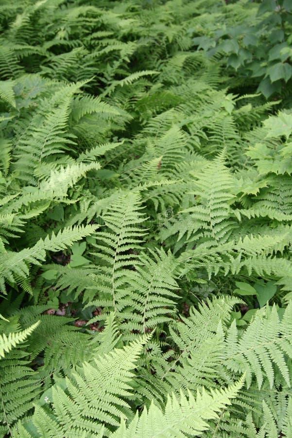 Sea of Ferns stock photos