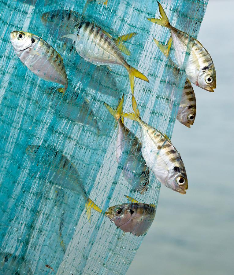 Sea fish caught on the net. stock images