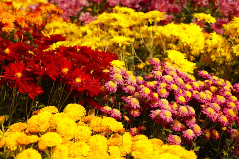 Sea of flowers. Frame filled with colorful flowers stock images