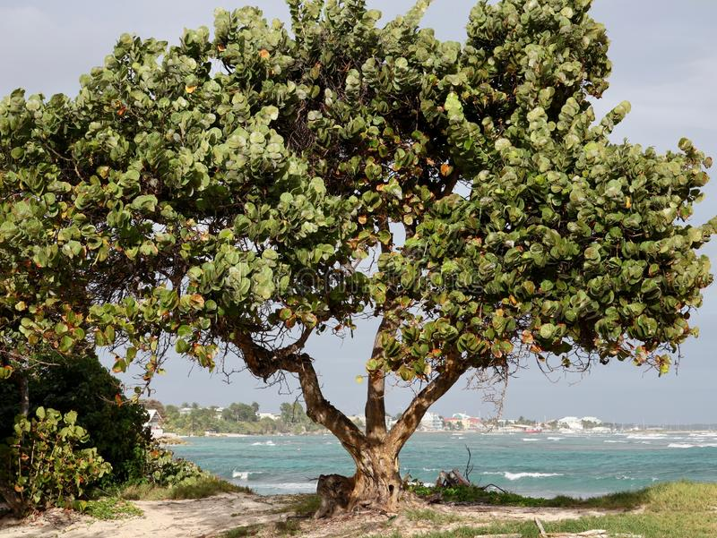 Sea Grape Tree on Tropical Beach royalty free stock photo