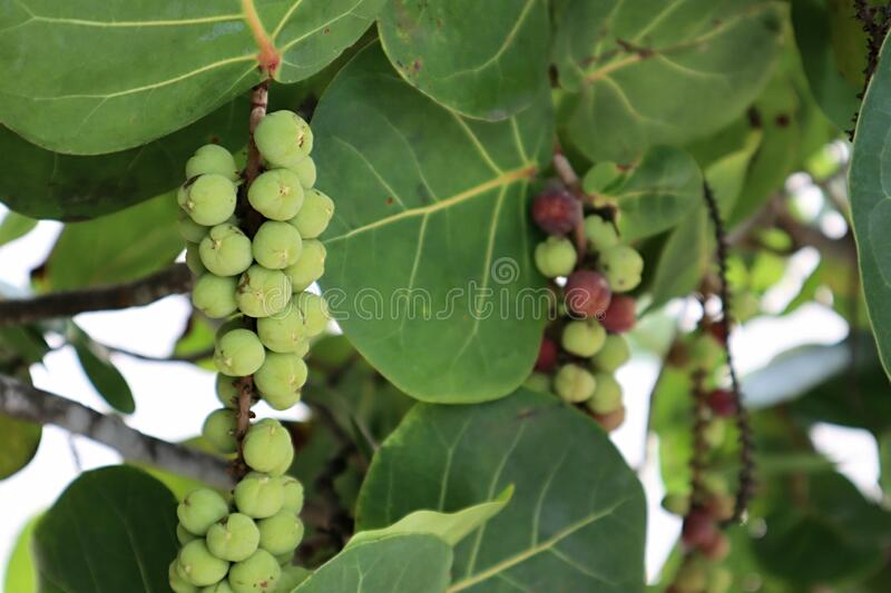 Sea grapes hanging from the branch stock image