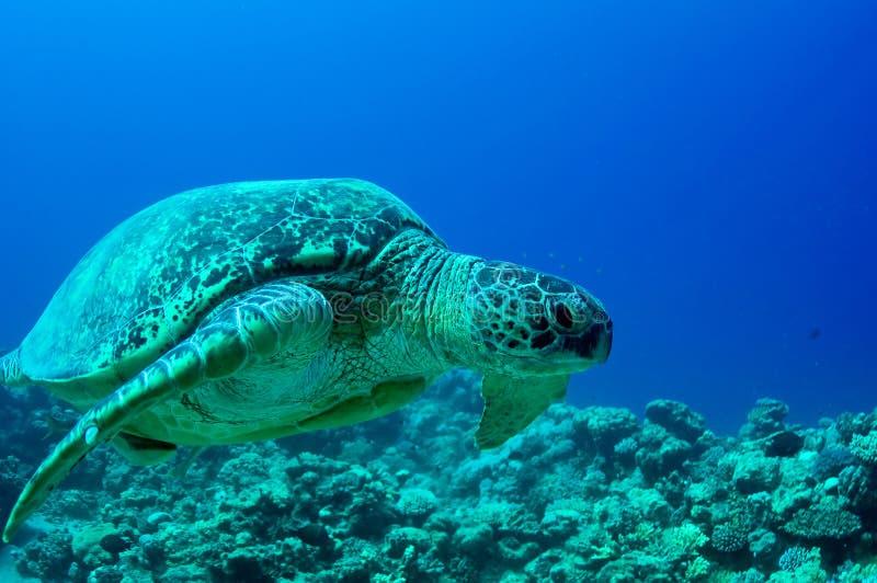 Sea green turtle royalty free stock image