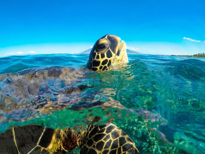 Green Sea Turtle Popping Head Up stock photo