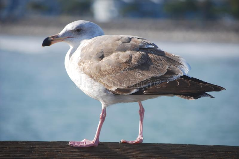 Download Sea Gull Royalty Free Stock Images - Image: 11099889