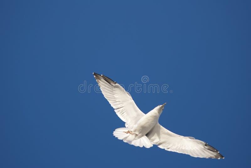 Download Sea gull stock image. Image of peace, soar, avian, free - 12562183