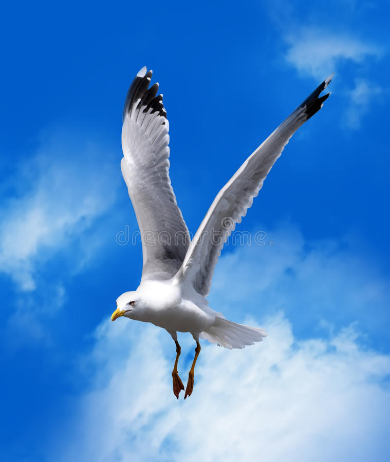 Free Sea Gull Royalty Free Stock Photos - 14984768