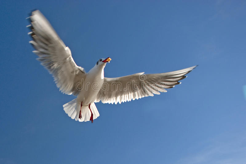 Download Sea gull stock image. Image of animals, animal, pecker - 18368483