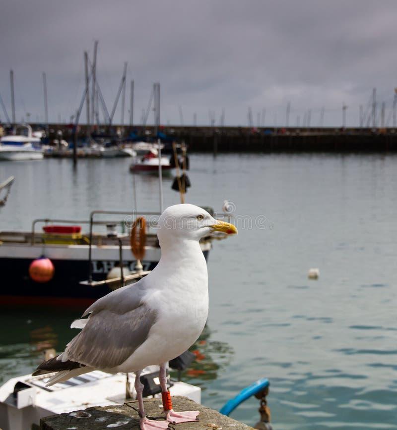 Sea Gull 2 Stock Photos