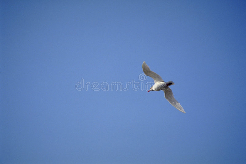 Download Sea-gull 3 stock image. Image of solitude, three, cozza - 252835