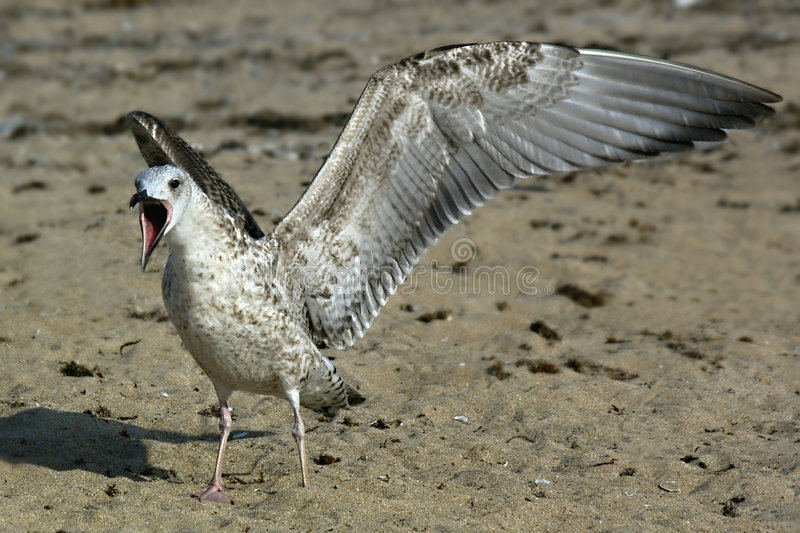 Download Sea gull stock image. Image of open, bill, close, shout - 3891539