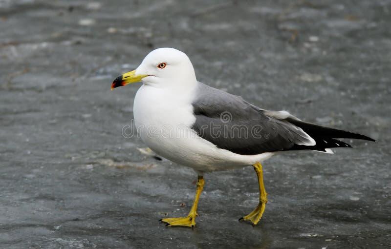 Sea-gull royalty free stock photos