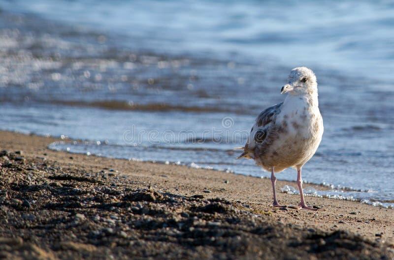Sea gull on the beach stock photo