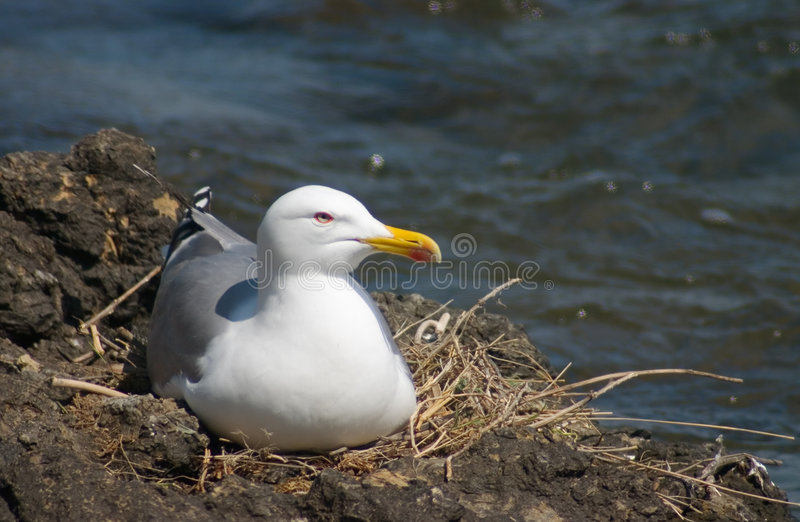 Sea-gull bird in the nest royalty free stock photography