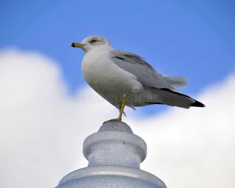 Sea Gull bird stock photography