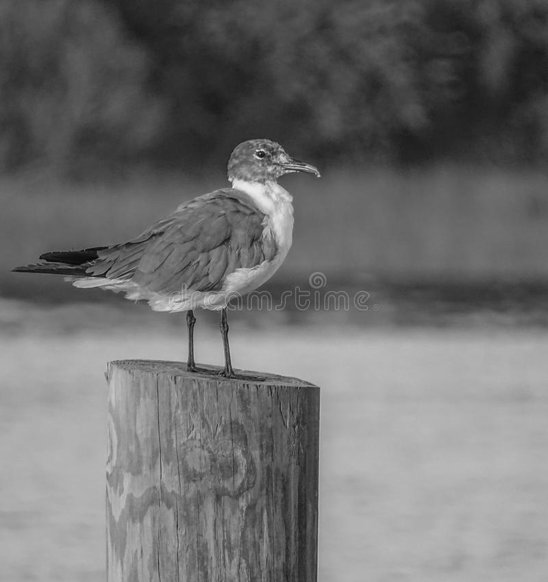 Sea Gull. Black and white of a gull sitting on a pole royalty free stock photo