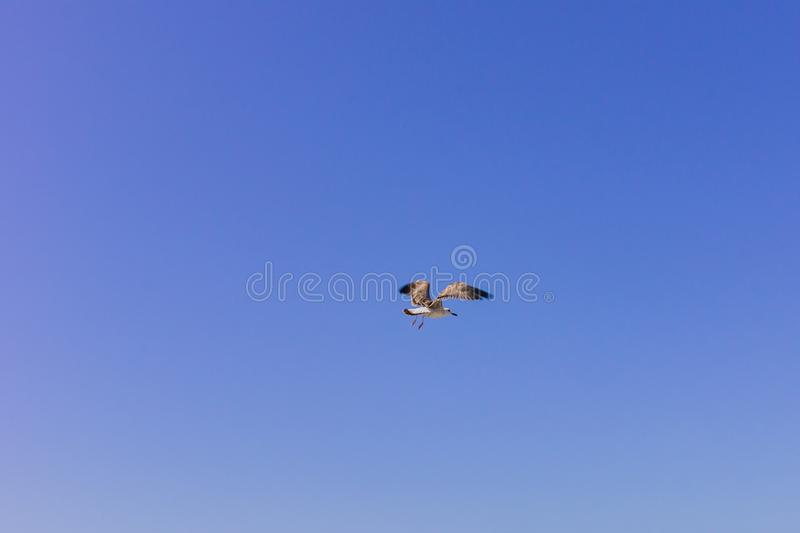 Sea gull in the clear blue sky. Flying bird.  stock images
