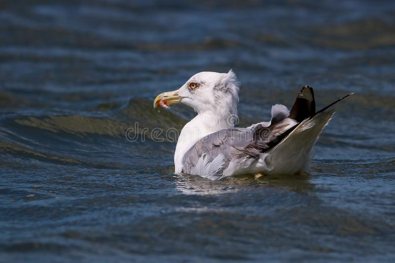 Sea Gull fishing in the water. Larus argentatus in the water. Sea Gull fishing in the water. Larus argentatus in swimming in the water. This image was taken in stock images