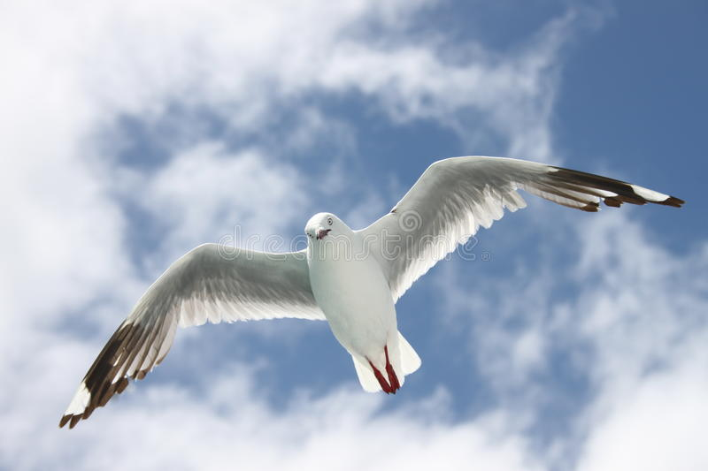 Sea Gull in flight stock photography