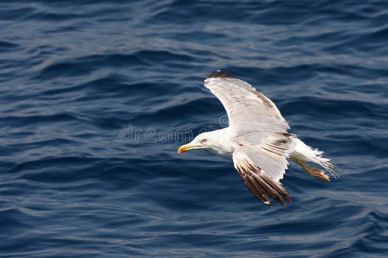 Sea gull in flight stock photography