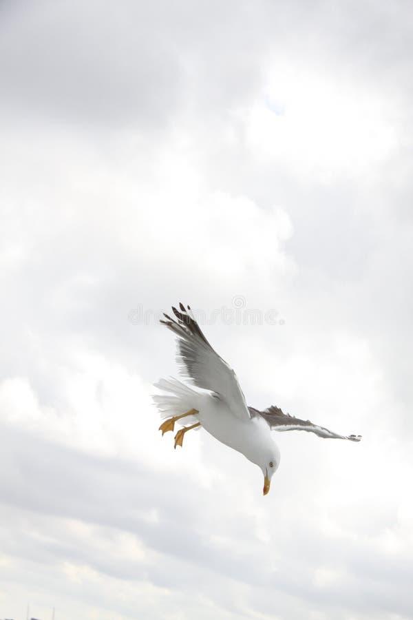 Sea Gull On Flight During Daytime Free Public Domain Cc0 Image