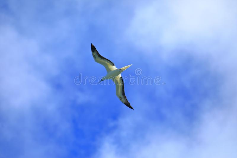 A sea gull in flight. Sea gull soars in the sky above the sea. The photo was taken in Kilauea lighthouseKilauea point ,the northern shore of kaua`i, hawaii stock photography