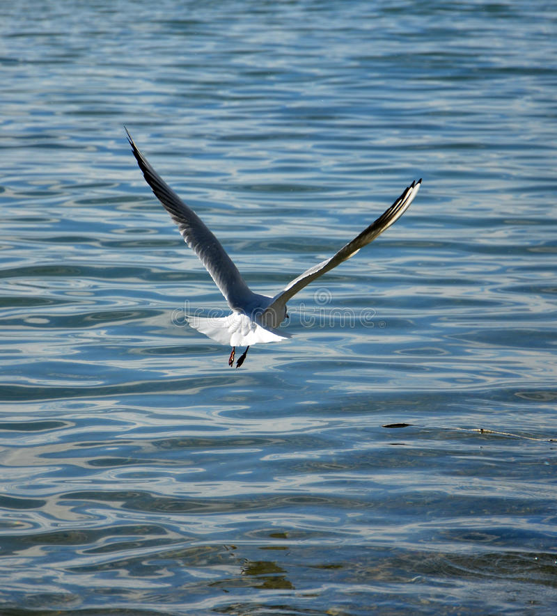 Free Sea Gull Flying Royalty Free Stock Images - 50991549