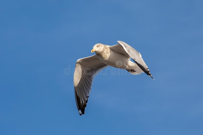 Sea gull flying beach action frozen blue sky wings feathers summer time spring flight stock image