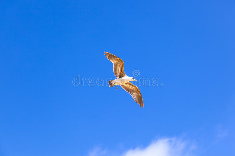 Sea gull flying in the blue sky